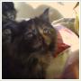Kocieta Mainecoon jedna z najbardziej oddanych ras