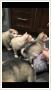 Siberian husky do adopcji